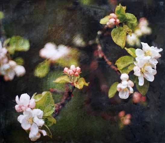 Apple Blossom - Phillip Connolly
