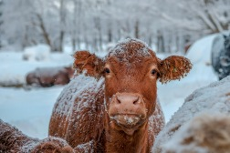 BKerton - Cow photo on canvas