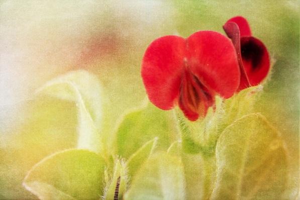 BKerton - Pea Flower photo